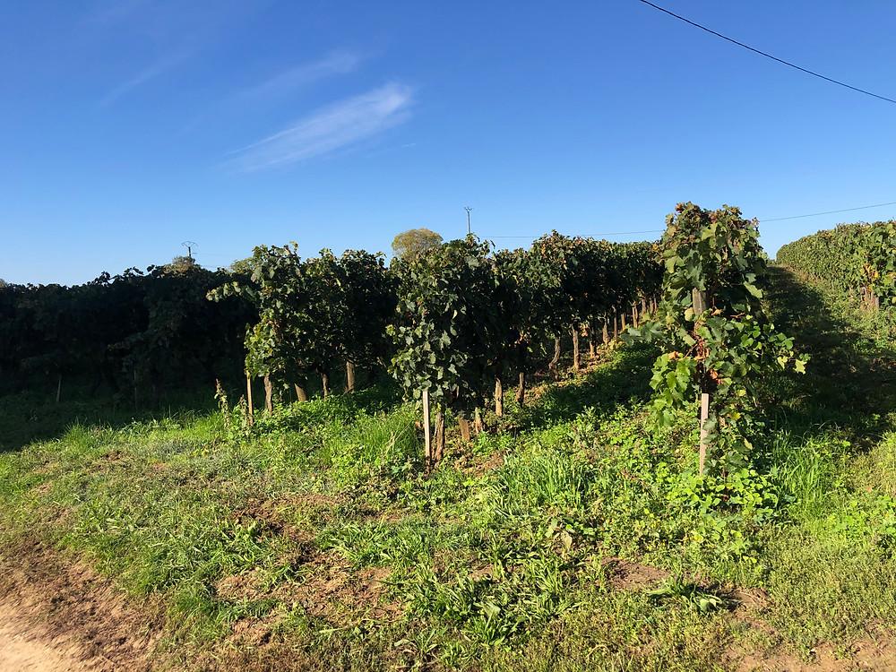 biodynamic vineyard at Chateau Le Puy during a winery visit and tour at Cotes de Franc Bordeaux