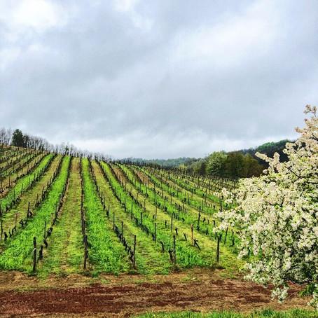 Piedmont White Wines. Travelling to Gavi Wine Region