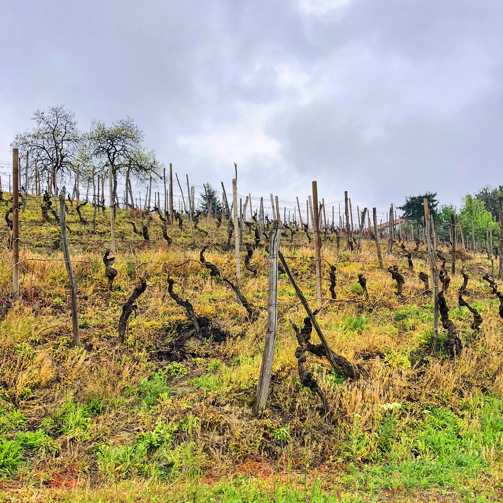Moscato d'Asti vineyard during a winery visit and wine trip to Piemonte Italy