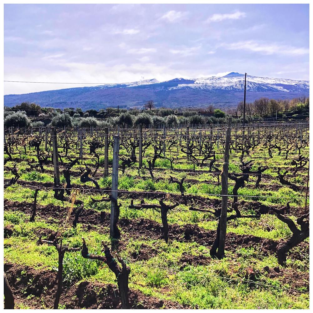 Etna DOC wine pre phylloxera vineyard in Calderara Sottana in Tenuta delle Terre Nere winery with Etna volcano view in snow