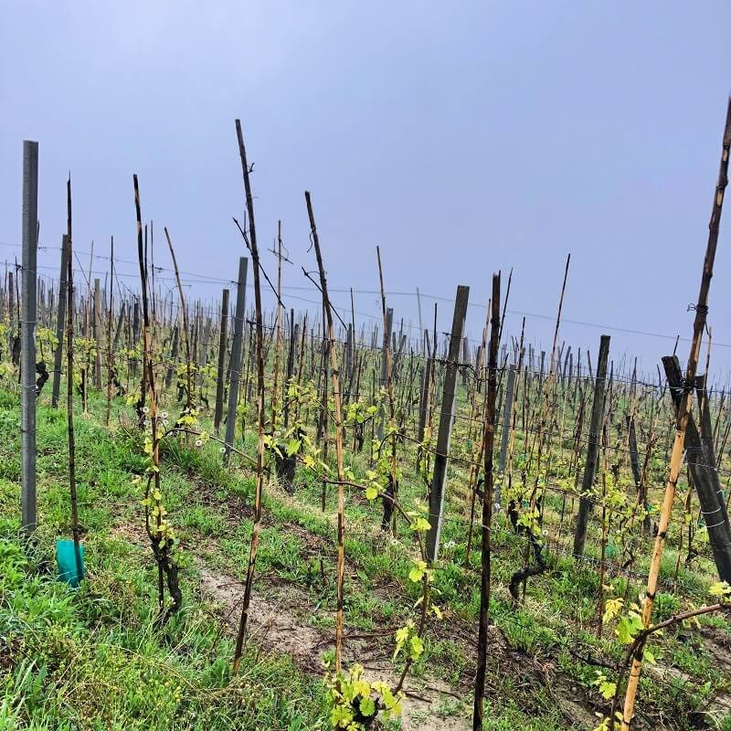 Moscato d'Asti vineyard in early spring in rain and fog on a slope