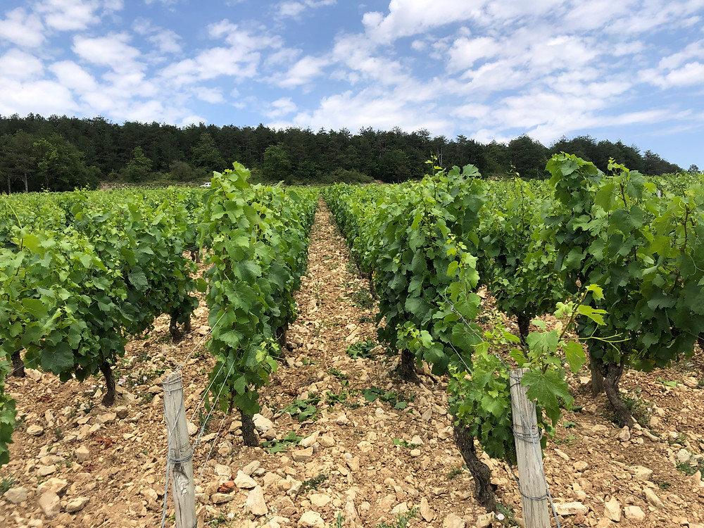 Forest covers the top of the Chablis grand cru vineyard hills