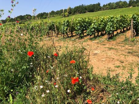 Discover Burgundy. Bouzeron - Burgundy's Top Secret