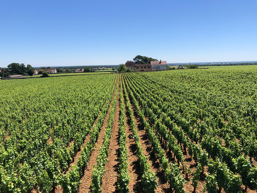 Pinot Noir vineyard in Gevrey-Chambertin along the Route des Grand Crus in Cote de Nuits in Burgundy