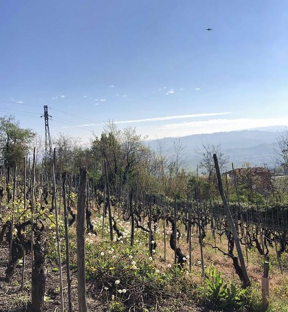 Nebbiolo vineyard in Barolo DOCG La Morra town on an early morning in spring