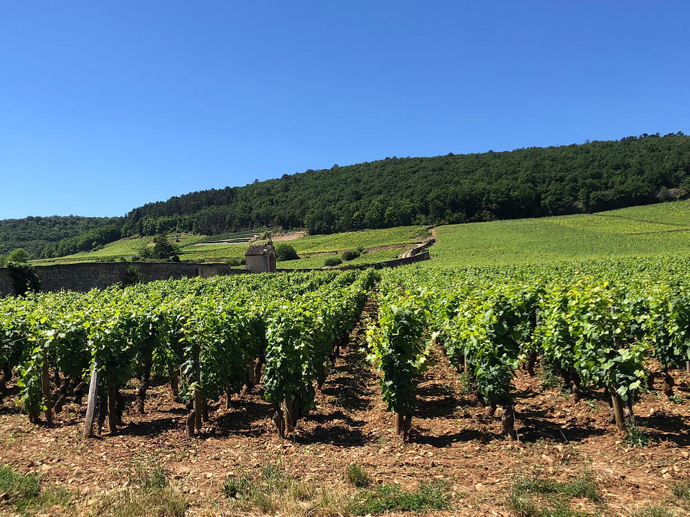 vineyards in Gevrey-Chambertin during a wine study trip to Burgundy visiting Domaine Trapet Rochelandet