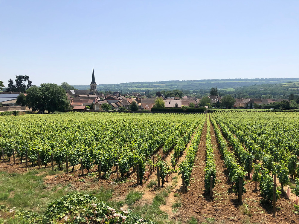 Pinot Noir vineyards in Santenay in summer during a winery visit and wine study trip