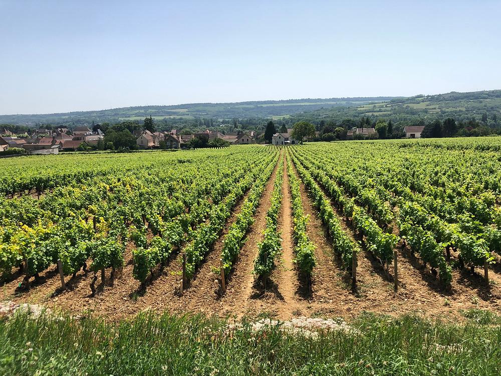 Pinot Noir vineyard in Cote de Beaune, Burgundy in Santenay village on a wine tasting trip