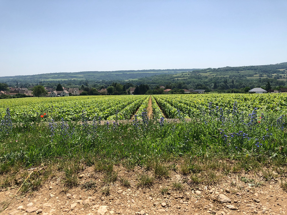Santenay vineyards in Cote de Beaune on a wine tour in Burgundy