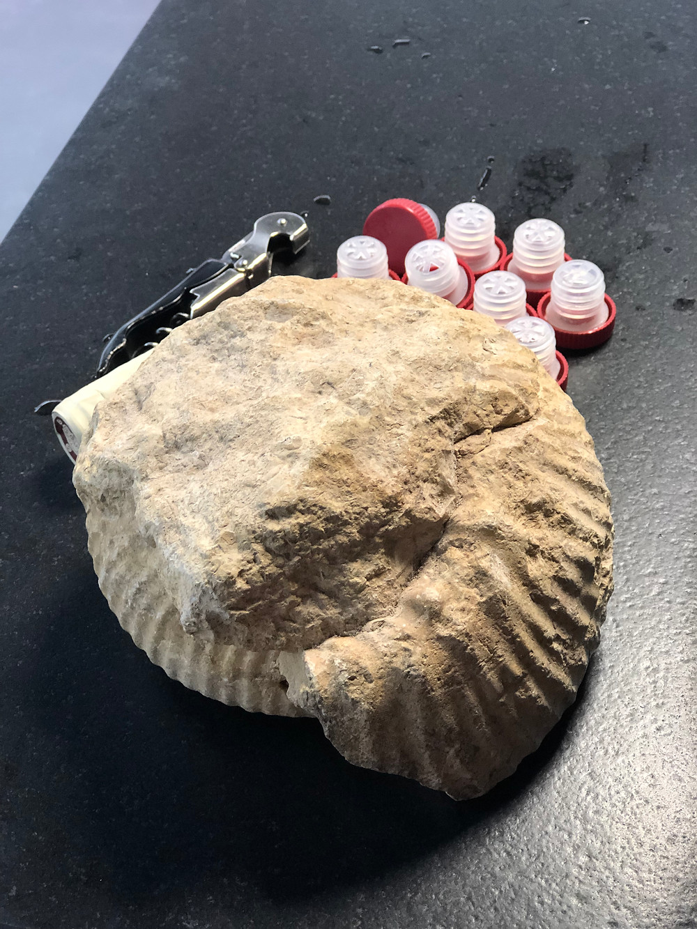 fossilized marl stones from Kimmeridgian soils in Chablis