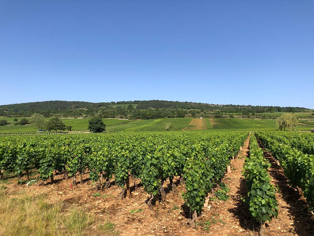 Village and Premier Cru Chardonnay vineyards in Meursault AOC during a wine study trip to Burgundy