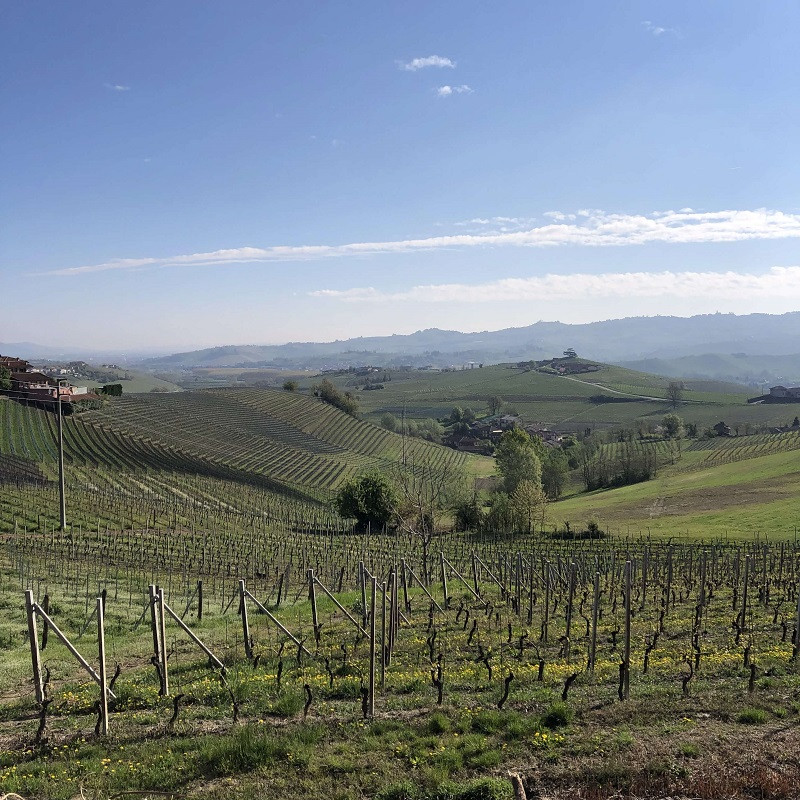 Nebbiolo vineyards in spring, in La Morra at Barolo DOCG Elio Altare winery