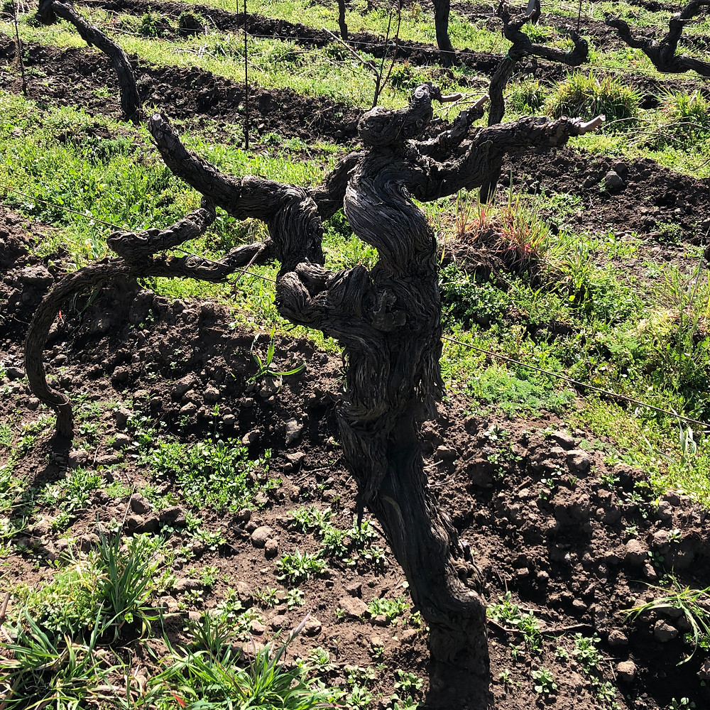 old pre phylloxera vine in Etna wine region in Tenuta delle Terre Nere Calderara Sottana cru zone