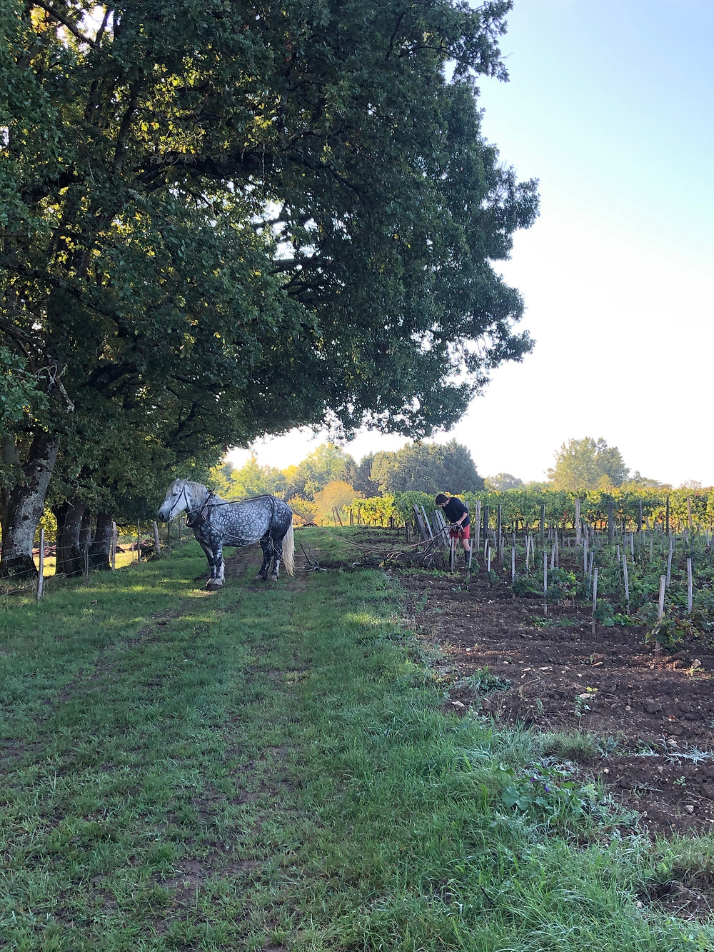 horse ploughing in Bordeaux in a biodynamic vineyard during a visit to Chateau Le Puy