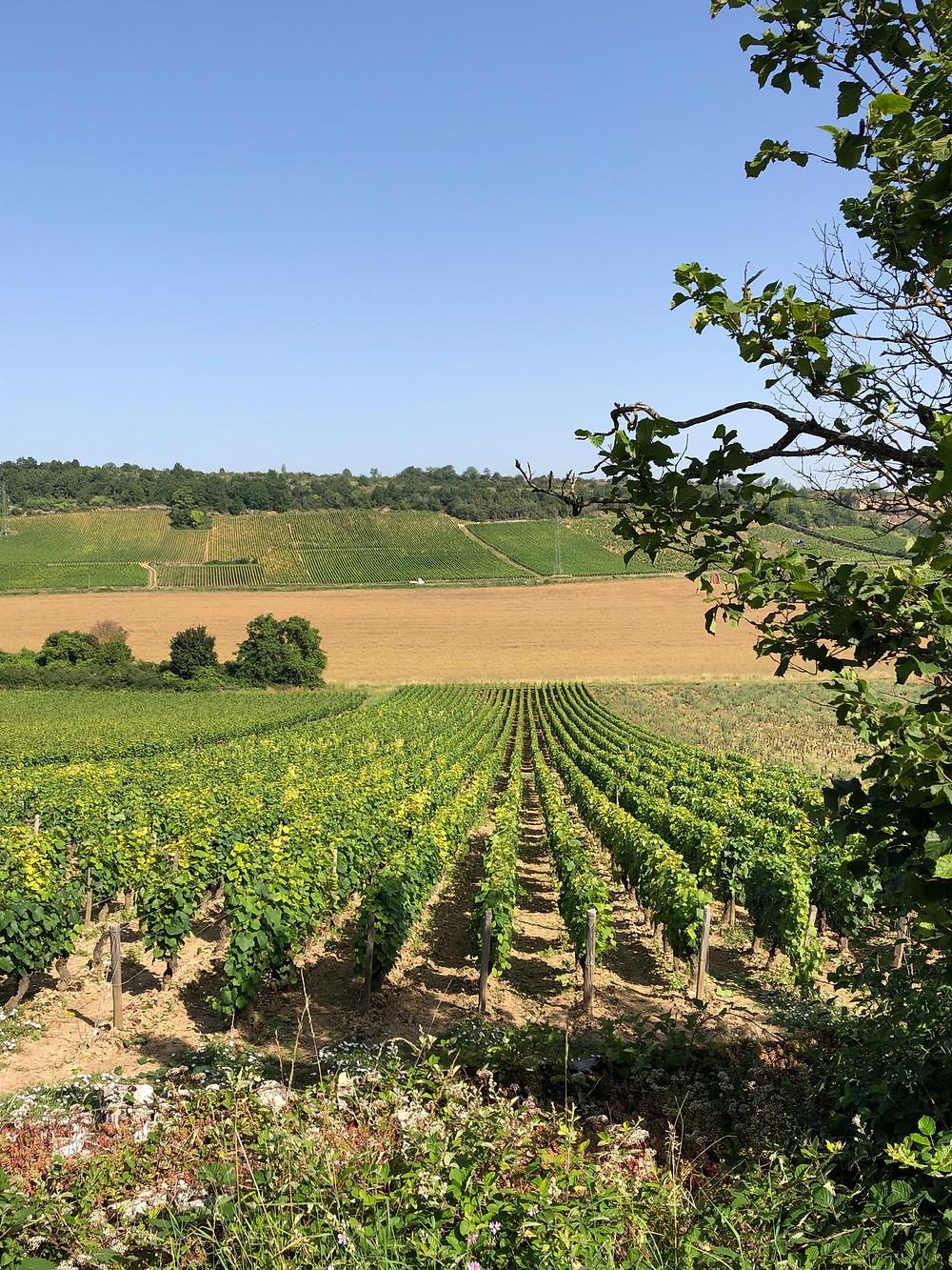 Aliogote vineyarss in Bouzeron AOC in Southern Burgundy