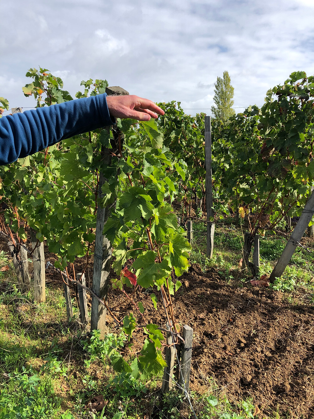 Cabernet Franc vineyard in Castillon Bordeaux at Clos Puy Arnaud