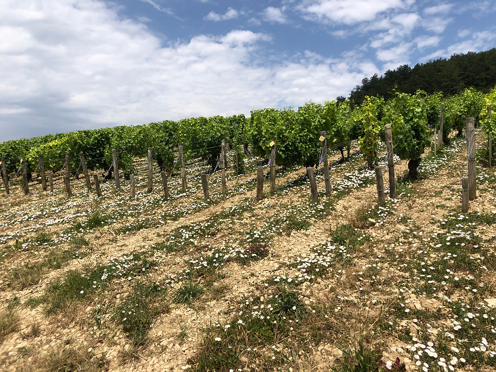 Organic vineyards in Chablis Grand Cru during a winery visit to Domaine des Malandes and a vineyard tour