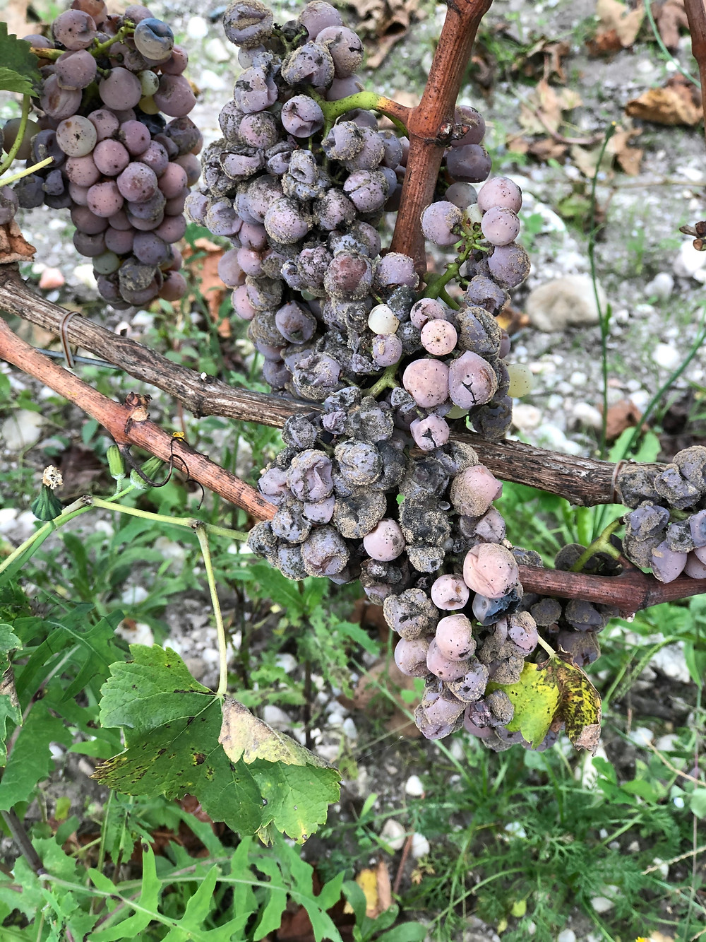 Botrytis cinerea or noble rot affected Semillon grapes in the vineyard in Sauternes before harvest