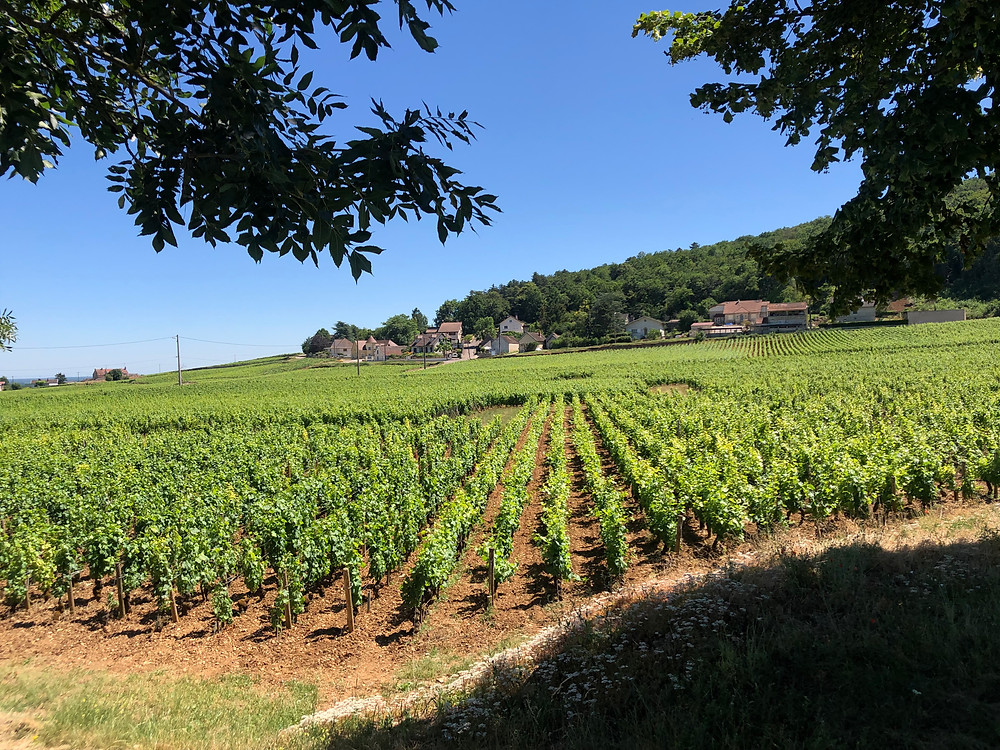 Pinot Noir vineyards in Gevrey-Chambertin Cote de Nuits in Burgundy on a wine tour