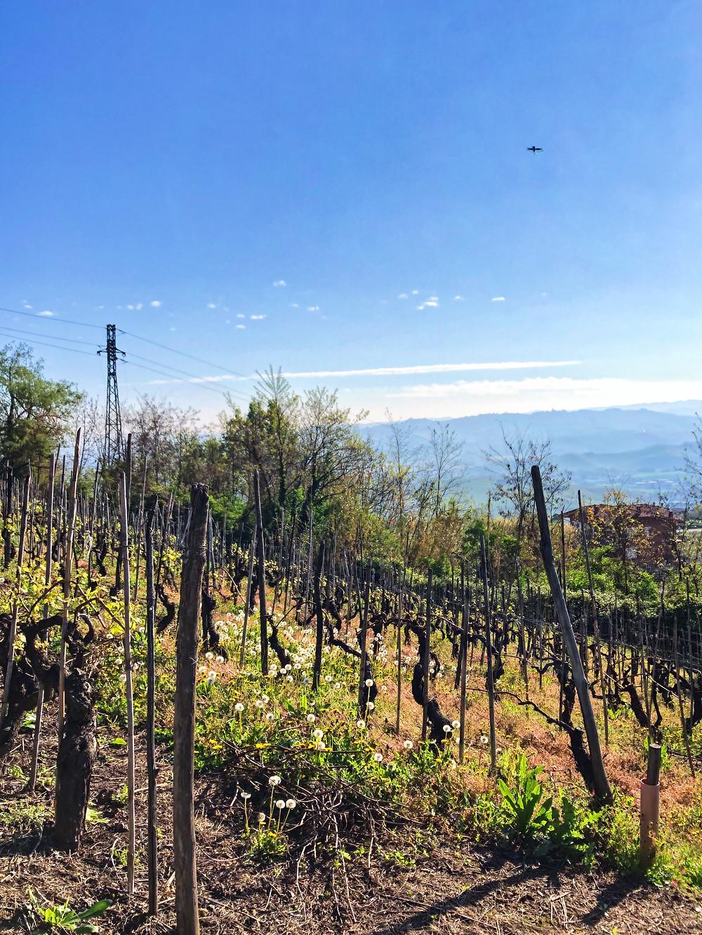 Barolo vineyards in La Morra with Nebbiolo vines in spring at early budbreak
