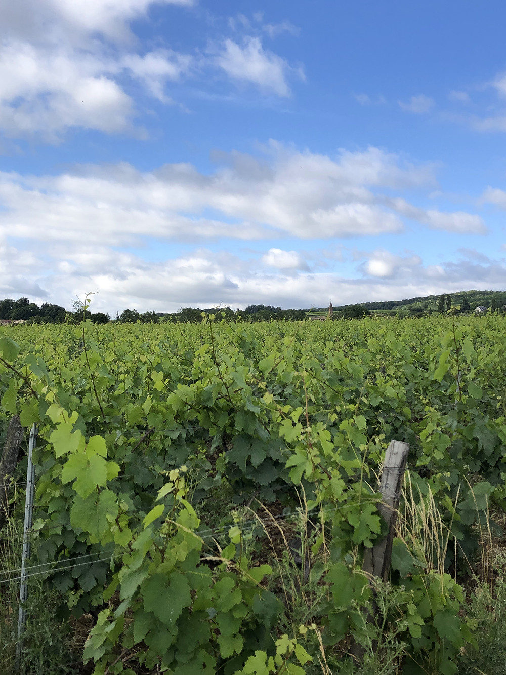 Chardonnay vineyard in Southern Maconnais, Pouilly-Fuisse in Burgundy, France