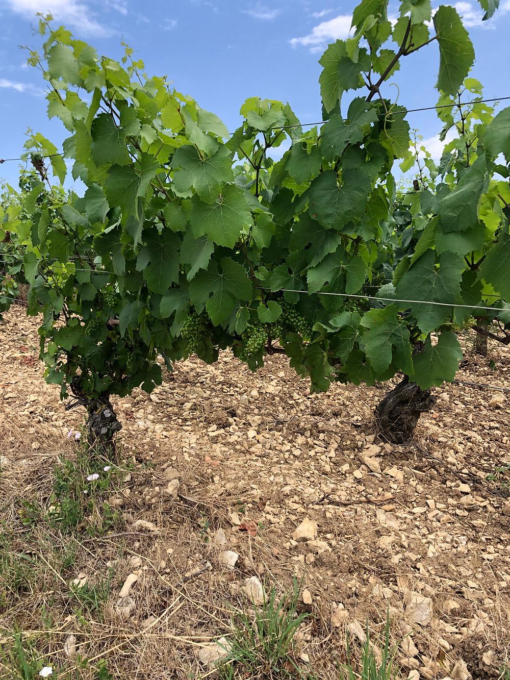 Chardonnay vineyard in Chablis Grand Cru during a wine study trip to Chablis and a vineyard tour