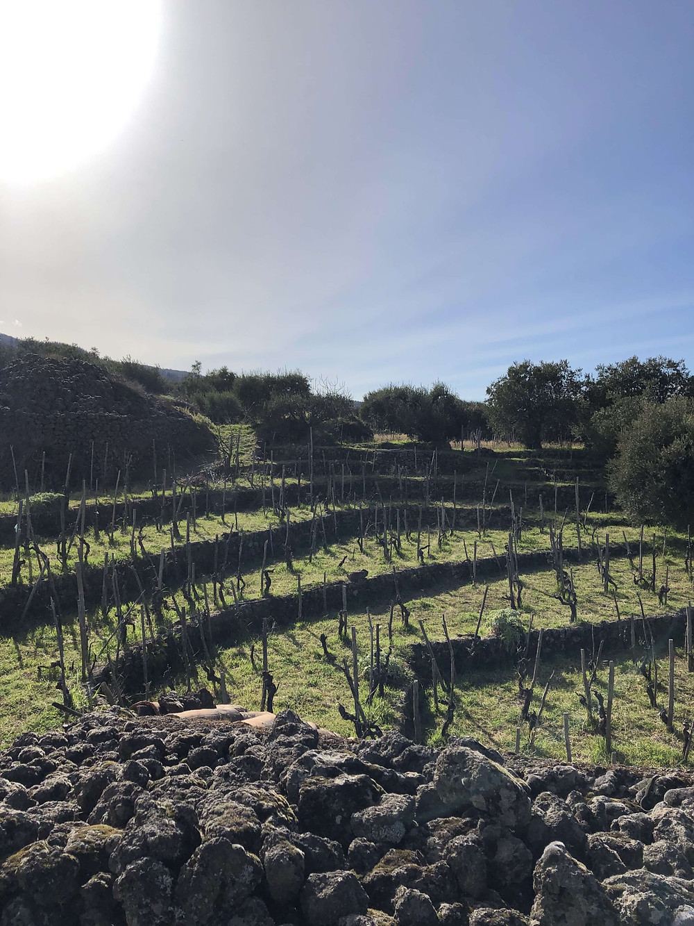 amphitheater shaped traditional vineyard in Etna wine region with alberello bush trained Nerello Mascalese vine