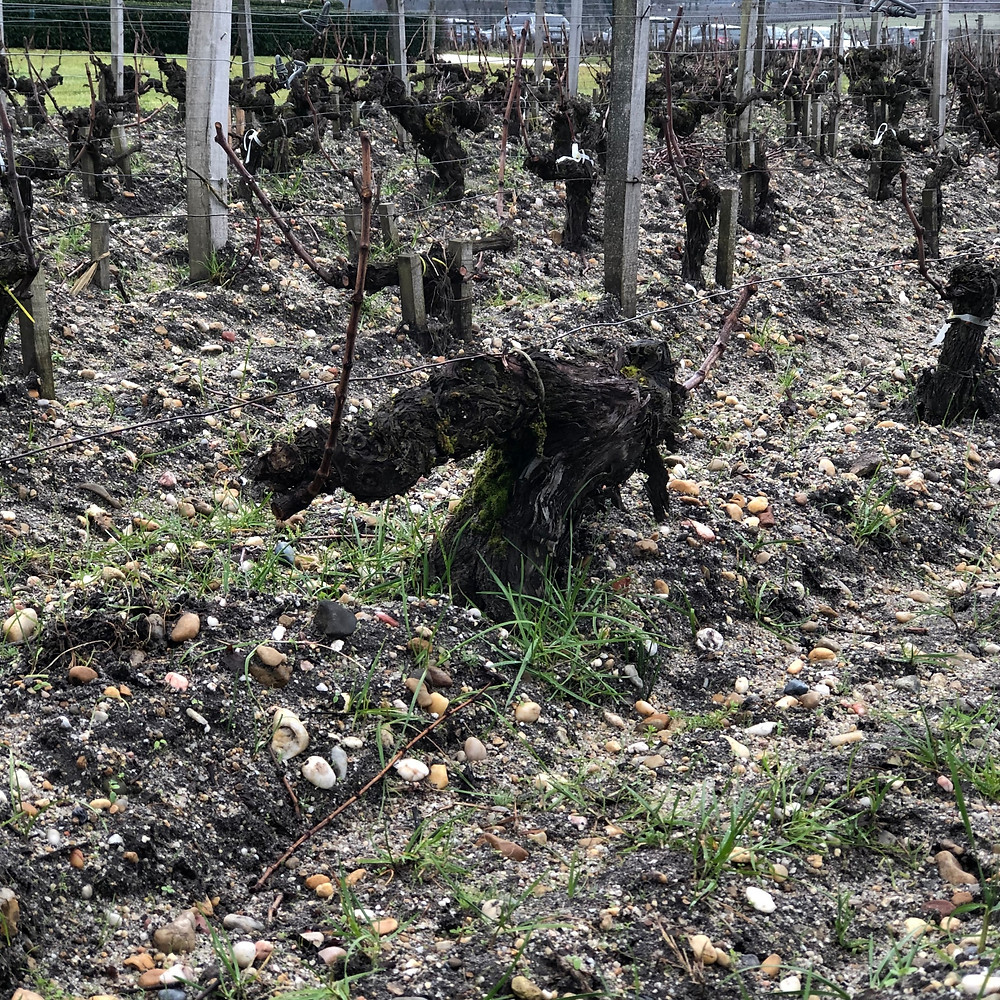 one hundred years old grape vines in Chateau Haut Bailly vineyard in Pessac Leognan Graves wine region on Bordeaux wine route