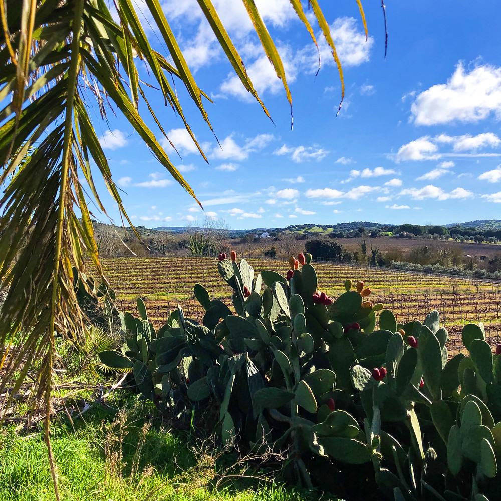 organic vineyard with cactus and palm trees during wine trip to Alentejo and Quinta da Plansel winery