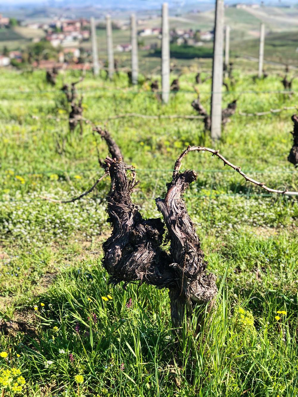 Nebbiolo grape vine in spring in La Morra on Barolo vineyards
