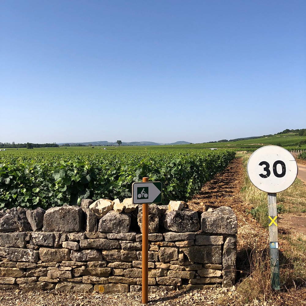 Cycling route in the Meursault vineyards during my Burgundy wine study trip