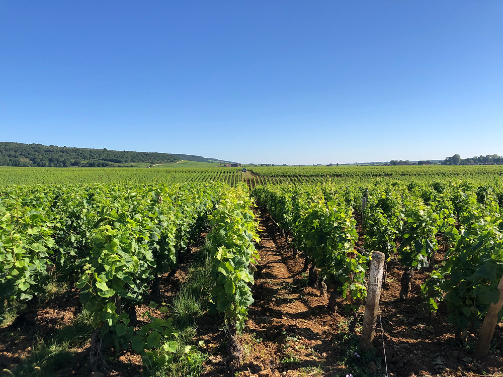 Grand Cru Pinot Noir vineyard in Vosne-Romanee village in Cote d'Or Nuits Saint Georges Burgundy