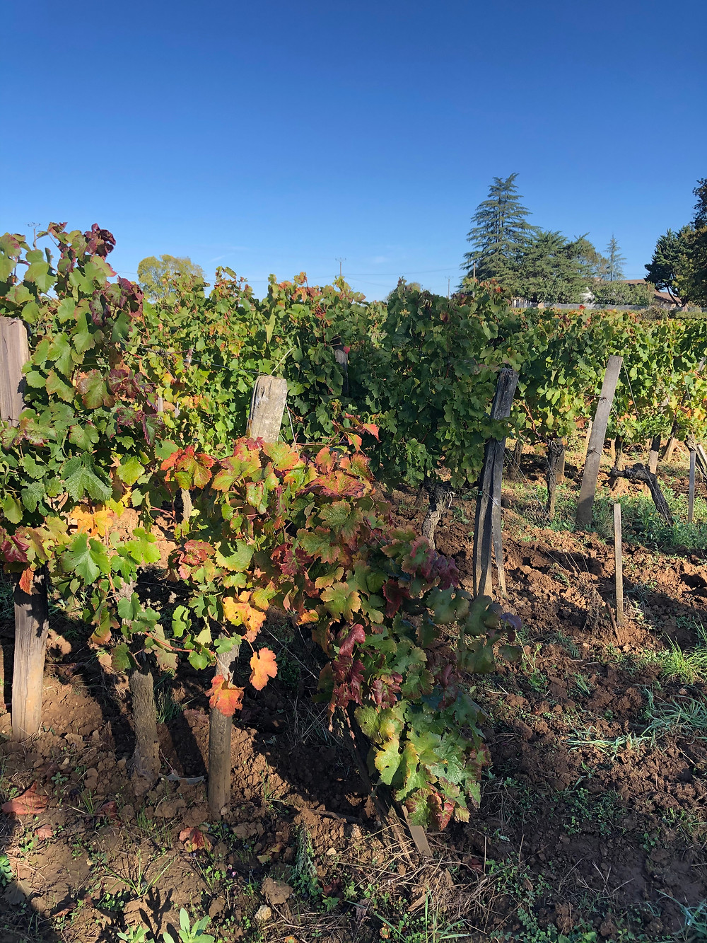 biodynamic vineyards in Bordeaux in Cotes de Francs at Chateau Le Puy biodynamic Bordeaux winery