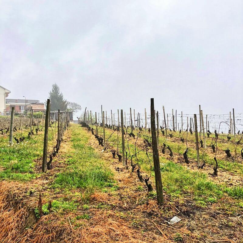 Moscato d'Asti vineyard in Castagnole delle Lanze Piedmont area