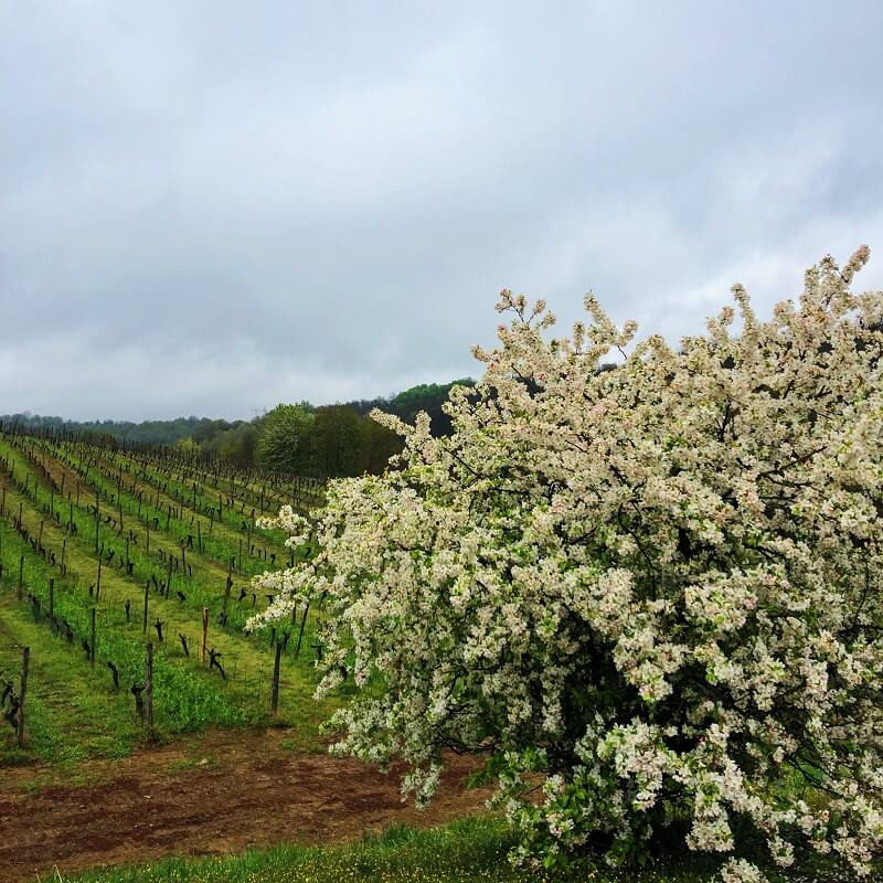 blooming tree and vineyard view in La Mesma winery in Gavi DOCG wine region in Novi Ligure, Piemonte