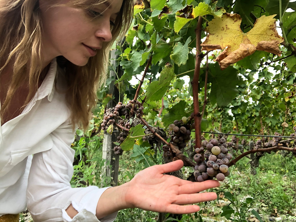Noble rot Semillon grapes in Sauternes in a vineyard before harvest in October during a wine study trip