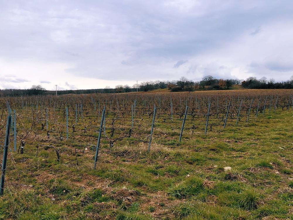Narince vineyard of Chamlija in Kirklareli on the Thracian wine route in Turkey