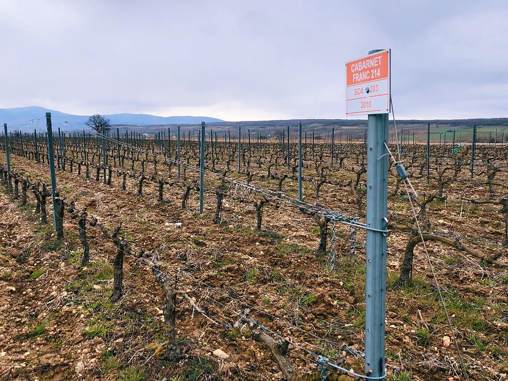 Cabernet Franc Chamlija vineyard photo from a winery trip in Turkey