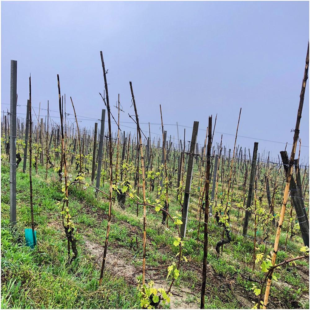 Moscato Bianco vineyard in Alessandria in Castagnole delle Lanze in spiring in April during bud burst