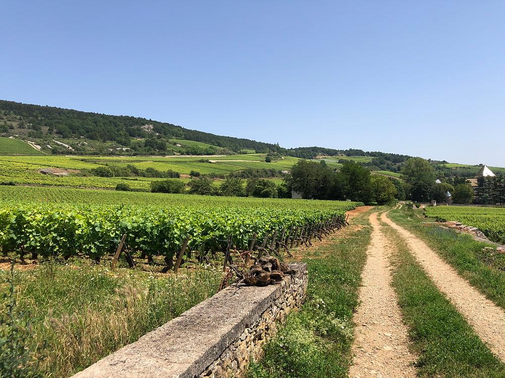 Vineyards in Santenay with Pinot Noir vines