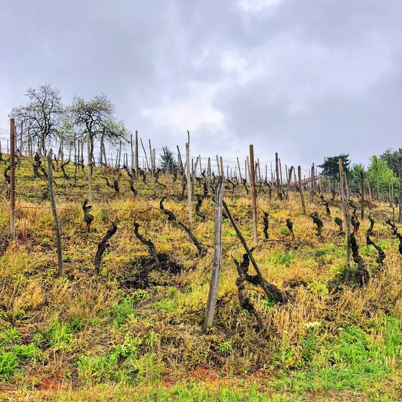 Moscato d'Asti vineyard in spring before bud break on a rainy day in Castagnole delle Lanze