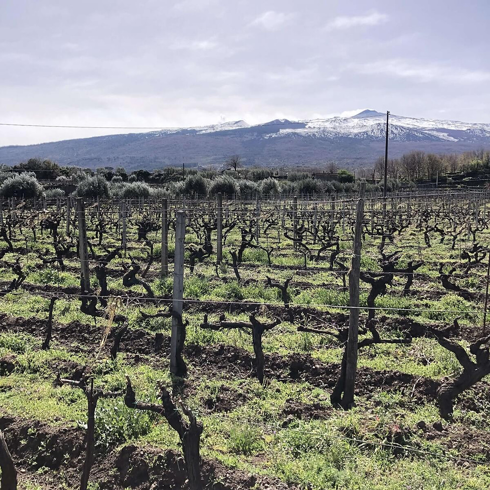 pre phylloxera vineyard in Tenuta delle Terre Nere winery planted with old Nerello Mascalese vines in Etna DOC wine region with a view of Etna volcano
