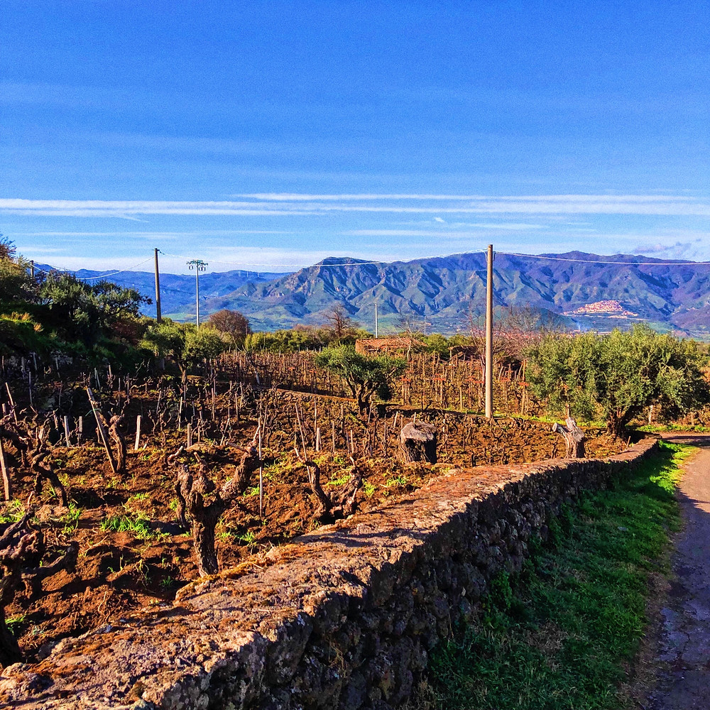 alberello bush trained Nerello Mascalese vines in Pietradolce winery in Etna DOC wine region visit and tasting tour