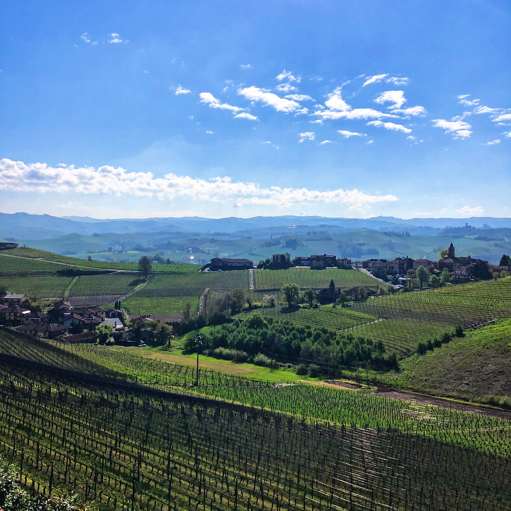 Nebbiolo vineyards in La Morra in spring with net protection against hail