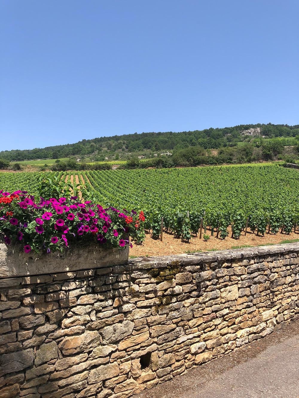 Santenay Premier Cru vineyards in Cote de Beaune Burdgundy on a wine tasting tour