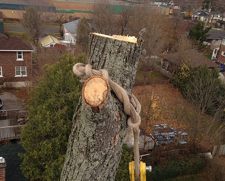 arborist removing tree using ropes and pulleys