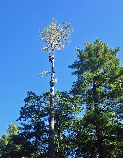 arborist removing tree by limbing