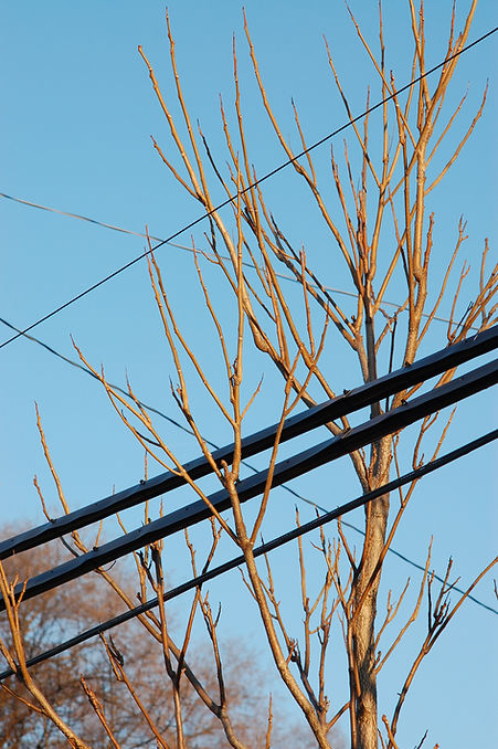 tree branches growing through hydro lines