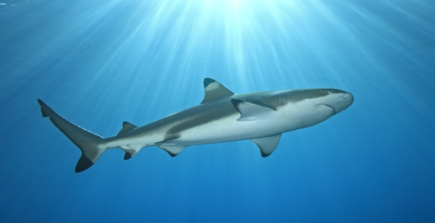 Shark Compressed and Cropped.jpg