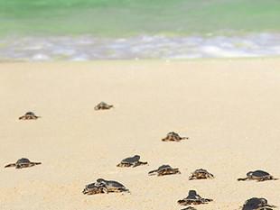 Turtle Ranger: A Big Job for Little Animals